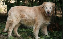 AMLETO, Hund, Golden Retriever-Maremmano Abruzzese-Mix in Italien - Bild 2