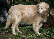 AMLETO, Hund, Golden Retriever-Maremmano Abruzzese-Mix in Italien - Bild 3