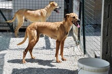 OIBIA, Hund, Windhund-Mix in Italien - Bild 3