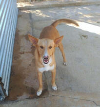 MICKEY, Hund, Podenco-Mix in Spanien - Bild 1