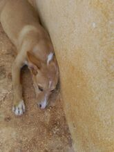 MICKEY, Hund, Podenco-Mix in Spanien - Bild 2