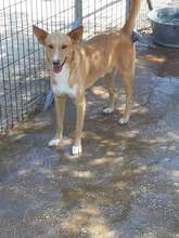 MICKEY, Hund, Podenco-Mix in Spanien - Bild 4