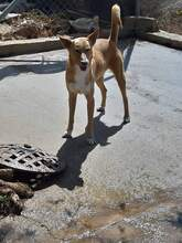 MICKEY, Hund, Podenco-Mix in Spanien - Bild 5