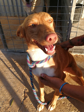 DONALD, Hund, Podenco-Mix in Spanien - Bild 1