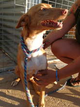 DONALD, Hund, Podenco-Mix in Spanien - Bild 2