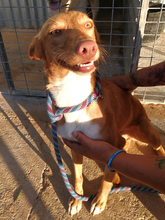 DONALD, Hund, Podenco-Mix in Spanien - Bild 4