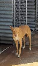 DONALD, Hund, Podenco-Mix in Spanien - Bild 8