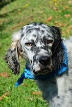 DANTE, Hund, English Setter in Italien - Bild 1