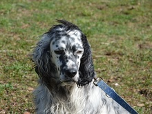 DANTE, Hund, English Setter in Italien - Bild 13