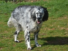DANTE, Hund, English Setter in Italien - Bild 14