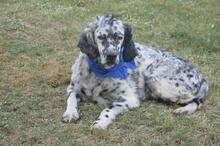 DANTE, Hund, English Setter in Italien - Bild 15