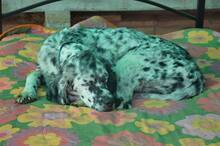 DANTE, Hund, English Setter in Italien - Bild 16