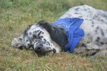 DANTE, Hund, English Setter in Italien - Bild 17