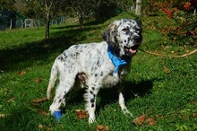 DANTE, Hund, English Setter in Italien - Bild 2