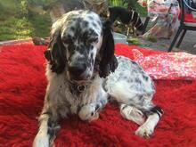 DANTE, Hund, English Setter in Italien - Bild 5