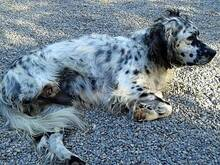 DANTE, Hund, English Setter in Italien - Bild 7