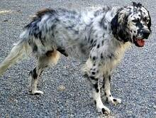 DANTE, Hund, English Setter in Italien - Bild 8