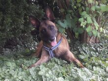 LETTIE, Hund, Malinois-Mix in Lindau - Bild 1