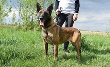 LETTIE, Hund, Malinois-Mix in Lindau - Bild 10