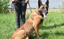 LETTIE, Hund, Malinois-Mix in Lindau - Bild 13