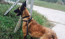 LETTIE, Hund, Malinois-Mix in Lindau - Bild 19
