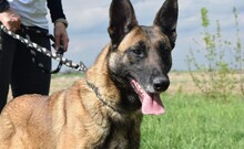 LETTIE, Hund, Malinois-Mix in Lindau - Bild 7