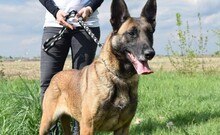 LETTIE, Hund, Malinois-Mix in Lindau - Bild 8