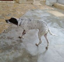 RAUL, Hund, Pointer-Mix in Spanien - Bild 3