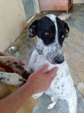 RAUL, Hund, Pointer-Mix in Spanien - Bild 4