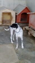 RAUL, Hund, Pointer-Mix in Spanien - Bild 6