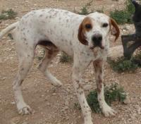 DOMINGO, Hund, Pointer-Mix in Spanien - Bild 1