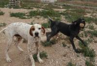 DOMINGO, Hund, Pointer-Mix in Spanien - Bild 2