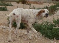 DOMINGO, Hund, Pointer-Mix in Spanien - Bild 4