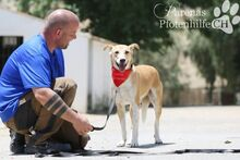 CAROLINA, Hund, Podenco-Mix in Spanien - Bild 1
