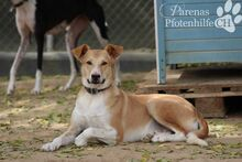 CAROLINA, Hund, Podenco-Mix in Spanien - Bild 2