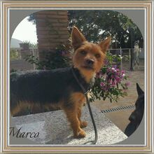 MARCO, Hund, Yorkshire Terrier-Mix in Wolfhagen - Bild 1