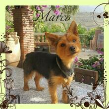 MARCO, Hund, Yorkshire Terrier-Mix in Wolfhagen - Bild 2