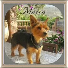 MARCO, Hund, Yorkshire Terrier-Mix in Wolfhagen - Bild 3