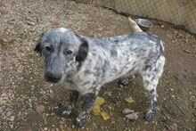 PRIME, Hund, English Setter in Italien - Bild 3