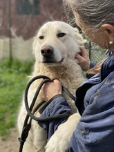 JEEP, Hund, Maremmano-Mix in Italien - Bild 3