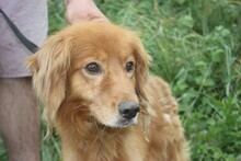 NABUCCO, Hund, Golden Retriever-Cocker Spaniel-Mix in Lohra-Reimershausen - Bild 1