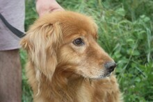 NABUCCO, Hund, Golden Retriever-Cocker Spaniel-Mix in Lohra-Reimershausen - Bild 2