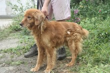 NABUCCO, Hund, Golden Retriever-Cocker Spaniel-Mix in Lohra-Reimershausen - Bild 3