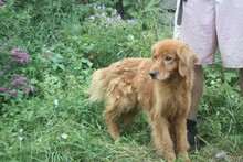 NABUCCO, Hund, Golden Retriever-Cocker Spaniel-Mix in Lohra-Reimershausen - Bild 4
