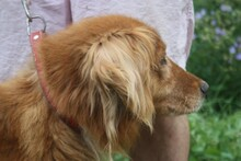 NABUCCO, Hund, Golden Retriever-Cocker Spaniel-Mix in Lohra-Reimershausen - Bild 5