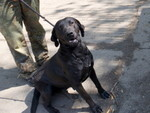 HELENKE, Hund, Labrador Retriever-Mix in Ungarn - Bild 2