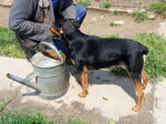 MOLLY, Hund, Pinscher-Mix in Ungarn - Bild 1