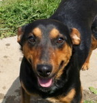 MOLLY, Hund, Pinscher-Mix in Ungarn - Bild 3