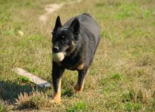 HEINRICH, Hund, Chodsky Pes-Mix in Slowakische Republik - Bild 8