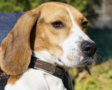 BARNY, Hund, Beagle-Mix in Zypern - Bild 2